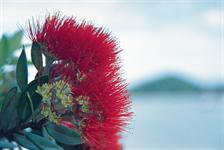 Pohutukawa - New Zealand's 'Christmas Tree' - Photography by Adventure Films