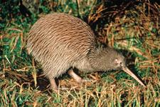 Our endangered iconic bird, the native Kiwi